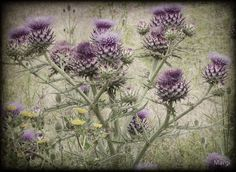 Thistle field by Margi