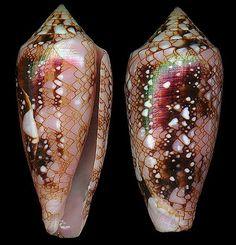 Cylindrus legatus    Lamarck, J.B.P.A. de, 1810 Ambassador Cone Shell size 22 - 63 mm Pacific (not Hawaii); E Africa - Mauritius