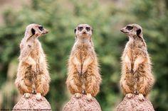 Thomas Wils, Flotter Dreier, #BlendeFotowettbewerb | Ohne Worte – Einfach gut! #Blende2017 #Tierfotografie #Erdmännchen