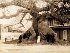 J.F. Coonley - Silk Cotton Tree, Nassau, Bahamas | Item: Tit… | Flickr