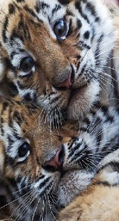 Two adorable and playful female tiger cubs, born Sept. make their first public appearance at a zoo in Magdeburg, Germany. Cute Baby Animals, Animals And Pets, Funny Animals, Wild Animals, Beautiful Cats, Animals Beautiful, Beautiful Babies, Big Cats, Cats And Kittens
