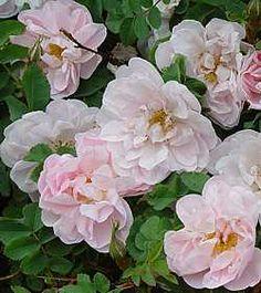 Rosa Pimpinellifolia 'Stanwell perpetual'