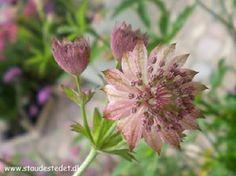 Astrantia major 'Buckland' - Stjerneskærm