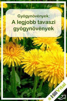 Először is néhány jó tanács a gyógynövények gyűjtésével kapcsolatban. Először is természetvédelmi területen tilos leszedni bármit is. Ami védett azt tilos leszedni bárhol is. Olyan gyógynövényt ami poros és szemetes út mentén nő azt nem ajánlott leszedni. A gyűjtéséhez a legjobb időszak a délelőtt amikor már a harmat felszáradt. Ha virágot szedsz, akkor azt csak napsütésben és teljesen kinyílt állapotában. A termést és a magot akár egész nap lehet szedni kivéve a déli hőséget. Herbs, Health, Food, Ideas, Plant, Health Care, Essen, Herb, Meals