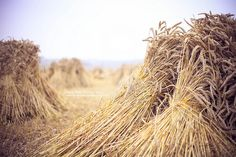 #straw is an innovative ressource for #biofuels of the next generation e.g. #cellulosic #ethanol