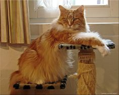 Maine Coon cats are known for many things. For people that own these cats they know all too well the interesting characteristics that their large cat possesses. We may not have all the things in just this list, but we …