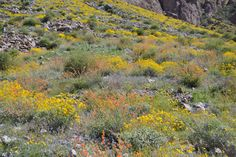 native desert landscaping - orange wildflowers are Sphaeralcea ambigua