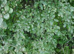 Buckthorn is an invasive plant. www.playcleango.org  Help prevent the spread of terrestrial invasive species.