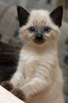 Adorable beautiful Seal Point kitten .
