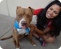 McKinney, TX - American Staffordshire Terrier Mix. Meet Maxwell a Dog for Adoption.