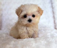 Teacup puppies are cute, small as well as adorable and this why most dog lovers prefer Teacup dogs as a companion animal pet. Teacups are a breed of small ... cachorro de grandes ojos y pelaje color miel y blanco