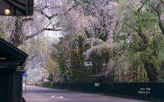 角館武家屋敷内町のしだれ桜
