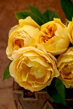 "you can find this one in the garden: David Austin English Rose ""Graham Thomas"" Love Rose, My Flower, Pretty Flowers, Cactus Flower, Exotic Flowers, David Austin Roses, David Rose, Beautiful Roses, Yellow Roses"