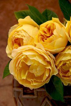 "David Austin English Rose ""Graham Thomas"""