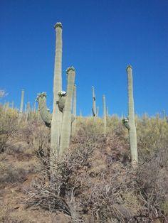 Saguaro cactus are in bloom!
