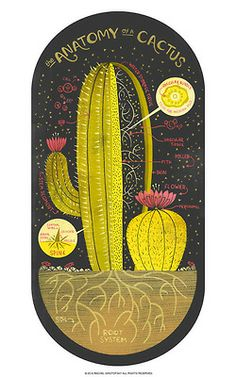 rachelignotofsky: Anatomy of a Cactus illustration. Cacti are the only plant that I don't straight up murder by accident. So I had two grea...