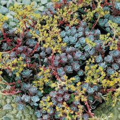Sedum Spathulifolium 'Purpureum' Alpine Plant