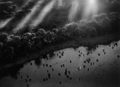 AFRICAN BUFFALO HERD IN THE OKAVANGO DELTA, BOTSWANA, 2007 | From a unique collection of black and white photography at https://www.1stdibs.com/art/photography/black-white-photography/