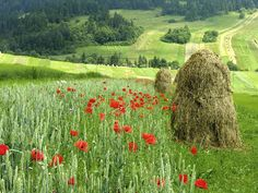 Polish countryside #countryside #poppies #haystack