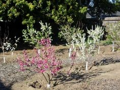 Backyard Orchard Culture -- detailed articles about planting and caring for trees -- on Dave Wilson Nursery at http://www.davewilson.com/home-gardens/backyard-orchard-culture