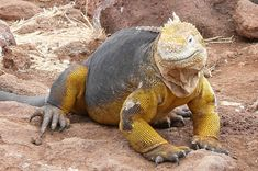 Yellow-colored reptiles are very rare. This Galapagos Land Iguana is native to the Galapagos Islands.