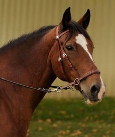 GENUINE DR COOK BITLESS BRIDLE - WESTERN LEATHER BROWN/MEDIUM (HORSE) HEADSTALL