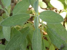 La salvia la plantamos de semilla, por eso no está tan grande como otras hierbas aromáticas que tenemos en el huerto.