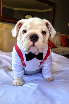The major breeds of bulldogs are English bulldog, American bulldog, and French bulldog. The bulldog has a broad shoulder which matches with the head. Baby Animals, Funny Animals, Cute Animals, Funny Dogs, Cute Cats And Dogs, I Love Dogs, Cute Puppies, Dogs And Puppies, English Bulldogs