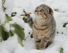 A startled cat sitting in the snow. Animals And Pets, Funny Animals, Cute Animals, Cute Cats And Kittens, Kittens Cutest, Cute Cat Quotes, C Is For Cat, Cat Scottish Fold, Cat Run