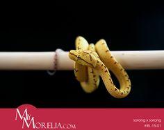 captive breed green tree python by Robert Liszka 2015