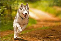 Husky by ~Breizhbleiz on deviantART