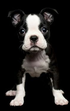 Boston Terrier Puppy - I miss when Belle was this small!