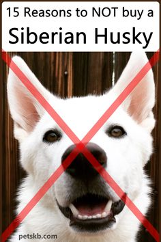 If you can't think of any reasons at all not to buy a Siberian Husky, read this article before you do. You may be glad you did! Siberian Husky Facts, Siberian Husky Puppies, Husky Puppy, Siberian Huskies, Corgi Puppies, Red Husky, Dog Stress, All Breeds Of Dogs, Dog Information