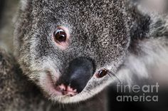 #EYE am #watching you - #KOALA #Photography Quality Prints and Cards at: http://kaye-menner.artistwebsites.com/featured/eye-am-watching-you-koala-kaye-menner.html