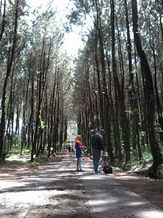 JOGMAG: Hutan Pinus Kragilan Lereng Gunung Merbabu