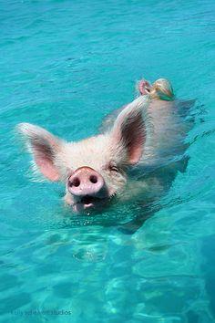 Here Piggy Piggy. Cute Baby Pigs, Cute Piglets, Baby Animals Super Cute, Cute Little Animals, Cute Funny Animals, Cute Dogs, Baby Animals Pictures, Cute Animal Pictures, Animals And Pets