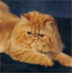 Pictures Persian Cats | Hershey the chocolate Persian, an example of a Solid Persian