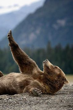 Bear yoga Streching Teddy - By: (Olav Thokle) Nature Animals, Animals And Pets, Baby Animals, Funny Animals, Cute Animals, Baby Pandas, Wild Animals, Jungle Animals, Beautiful Creatures