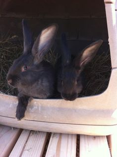 Meet Louise and Thelma 10 week old Flemish Giant rabbits!