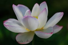 Lotus Flowers at the Hōkongō-in Temple in Kyoto-City, Japan. White lotus flower along the pond of Hōkongō-in Temple in Kyoto-City, Japan. White Lotus Flower, Pink Lotus, Lotus Flowers, Lotus Drawing, Kyoto, Mud, Temple, Bloom, Japan