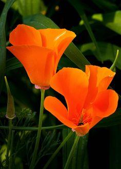 California Poppies - 6-11-11 01