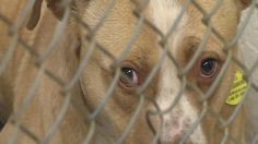 Animal lovers in West Virginia are hoping a bill that increases the penalties for animal fighting will make it through this session, but right now, it sits stalled in the Senate.Its already illegal to fight animals in West Virginia. This bill would increas