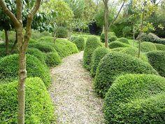 Lonicera nitida 'Elegans' for clipped hedging