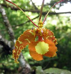 Trinidad & Tobago! Not an insect, but an orchid: Psychopsis Papilio