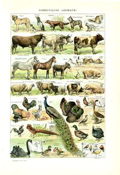 1908 Old domesticated animals print  pets farm animals French dictionary page