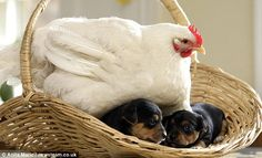 a one-year-old hen that thinks it's a dog has adopted a litter of puppies much to the bemusement of their canine mother. Mabel has taken to keeping the small dogs warm by snuggling up to them while their mother, Nettle, sits out in the yard at a farm in Shrewsbury.
