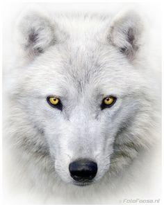 So Much like a Wolf Dog I just met the last few weeks!! Awooooo!