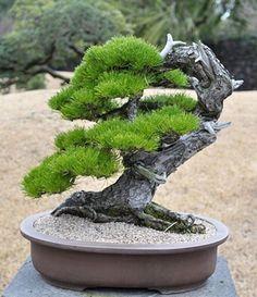 46 Best Ideas For Black Pine Tree Bonsai Pine Bonsai, Plants, Garden Terrarium, Bonzai Tree, Ikebana, Japanese Garden, Growing Tree, Small Trees, Miniature Trees