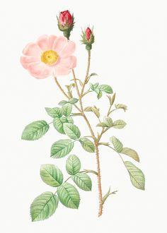 Leaves Illustration, Botanical Illustration, Botanical Drawings, Blooming Apples, Musk Rose, Provence Rose, China Rose, Apple Roses, Rose Trees
