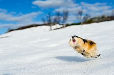 Although this is a Norway lemming it is here in the arctic/collared Lemming due to its wonderful posture Happy Animals, Nature Animals, Cute Funny Animals, Animals And Pets, Wild Animals, Wild Creatures, Cute Creatures, Animal Photography, Nature Photography